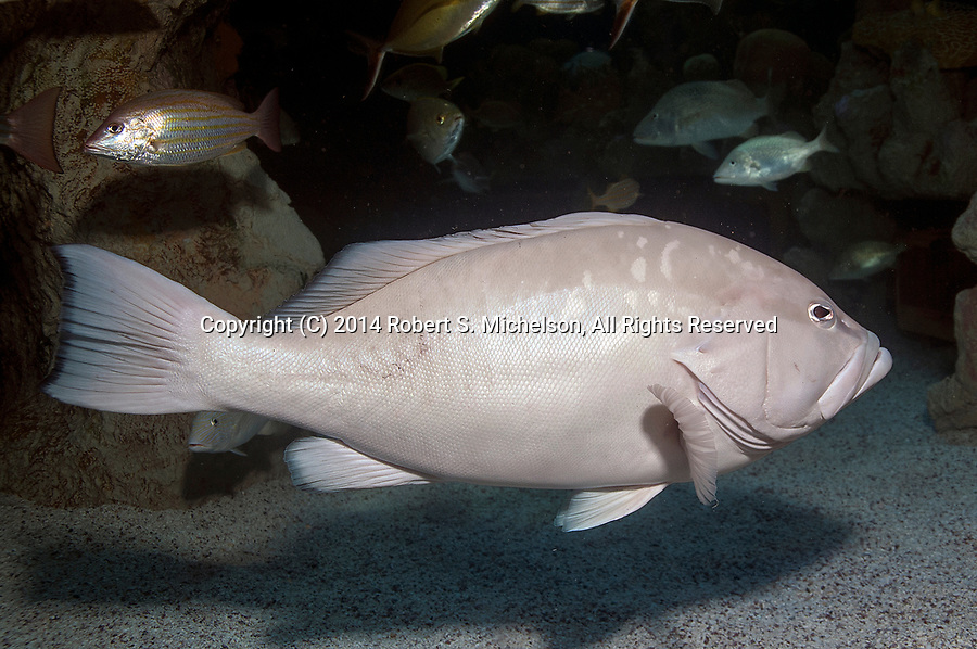 Red Grouper pale color phase facing right over coral gravel bottom