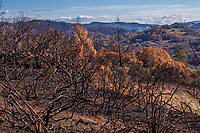 California native landscape, recovery after 2017 Sonoma  fires, Pepperwood Preserve