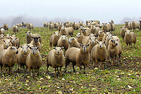 Lambs finished on stubble turnips, Cirencester, Gloucestershire.