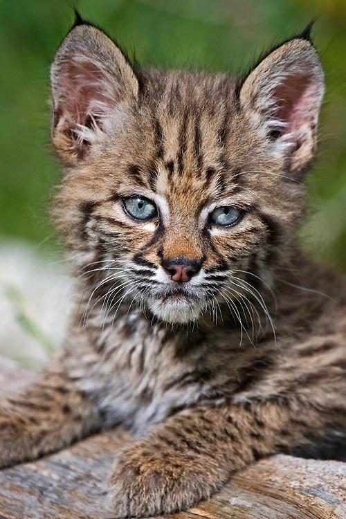 Bobcat kitten portrait - CA