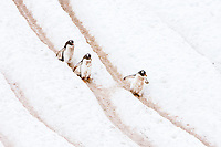 """Adult gentoo penguins (Pygoscelis papua) going and returning from sea to feed along well-worn """"penguin highways"""" carved into the snow and ice in Neko Harbour in Andvord Bay, Antarctica. These """"highways"""" form in late spring as penguins repeatedly walk the same route to and from the sea from their nesting site above. There are an estimated 80,000 breeding gentoo penguin pairs in the Antarctic peninsula area with a total population estimate of around 314,000 breeding pairs in all of Antarctica."""