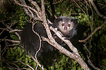 Adult Aye-aye (Daubentonia madagascariensis) active in forest canopy at night. Dry deciduous forest near Andranotsimaty. Daraina, northern Madagascar. (Critically Endangered)