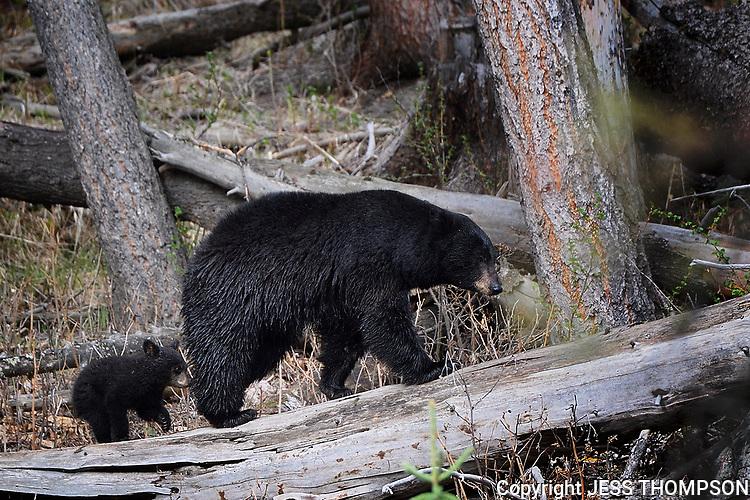 Black Bear with cub in Yellowstone