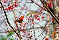 Iiwi (vestiaria coccinea), a Hawaiian honeycreeper, in a Japanese flowering cherry tree, Kokee State Park, Kauai. Red feathers once used in feather cloaks.