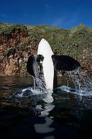 Keiko star of Free Willy movie, orca or killer whale, Orcinus orca, high spyhop showing pectoral fins, Vestmannaeyjar, Westman Islands, Iceland, Klettsvik Bay, Pacific Ocean