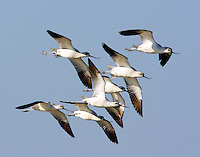 Flock of American avocets in winter plumage with water color effect