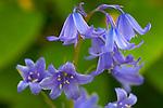 Vashon, WA<br /> Spanish Bluebell (Hyacinthoides hispanica) blossoms in spring