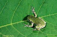 FR10-043b  Gray Tree Frog - young adult - Hyla versicolor