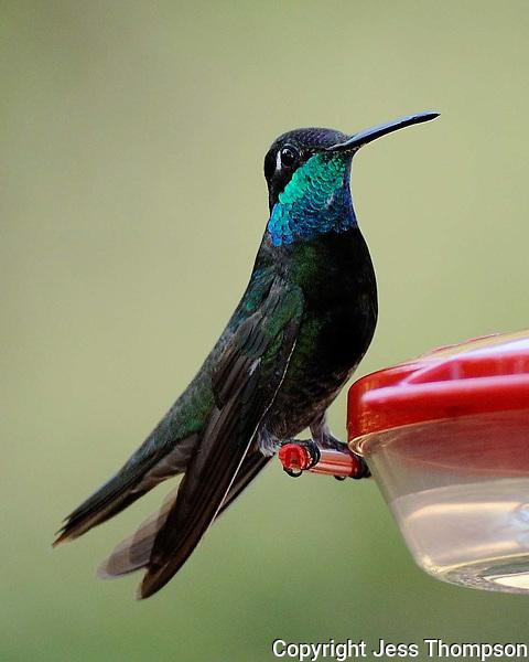 Magnificent Hummingbird, Southeastern Arizona
