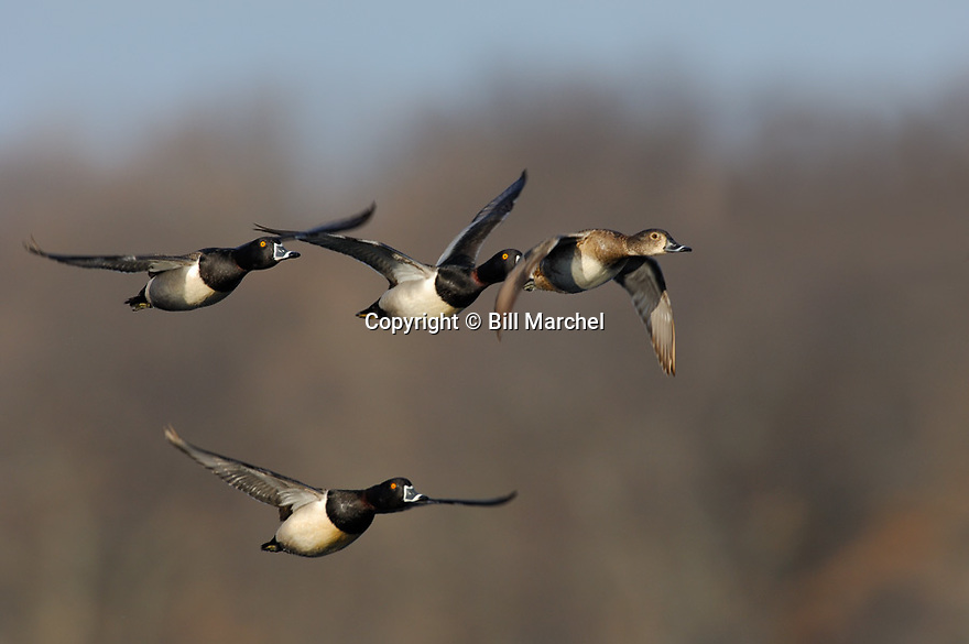 00305-018.18 Ring-necked Duck (DIGITAL) flock of five in fight.  H3R1