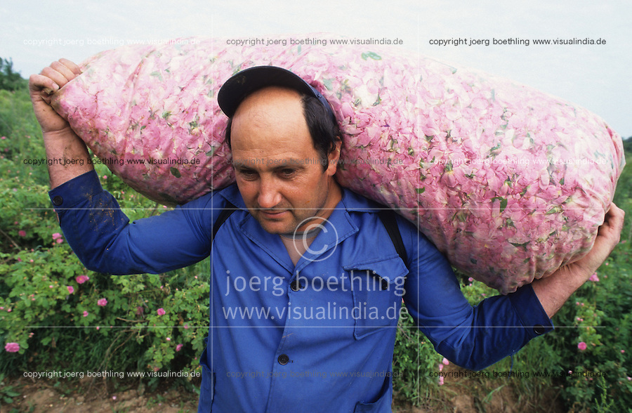 BULGARIA Kazanlak, farmer harvest in the morning damascena rose blossom in the rose valley , the rose blossom are distilled for essential oil and rose water which is used for cosmetics and perfume / BULGARIEN Kazanlak, Farmer ernten Blueten der Damscena Rose , aus den Rosenblaettern wird Rosenwasser und Rosenoel destilliert, der als Grundstoff fuer Kosmetika und Parfuem verwendet wird - <br /> MORE PICTURES AVAILABLE!