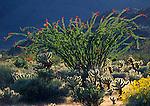 Anza-Borrego Desert State Park, CA<br /> Ocotillo, cholla cactus and brittlebush backlit on Yaqui Meadows