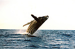 The Humpback Whale breaches off the Maui Coastline in the AuAu Channel on February 19,2005.Sequence photos 3 of 5.© Debbie VanStory/RockinExposures.