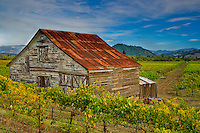 A unique fine art landscape image of historic, weathered barn with rusting red roof and brown and white patterns of weathered wood, nestled on edge of vineyard, peeking up over a small hillside of vineyards, with a dirt farm road leading into the center of the image, towards rolling hills with small pine trees in the background and white whisps of clouds streaking across blue sky.