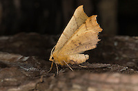 Herbst-Zackenrandspanner, Herbst-Zackenspanner, Herbstlaubspanner, Herbstlaub-Spanner, Zackenspanner, Ennomos autumnaria, Large Thorn, Geometridae, Spanner