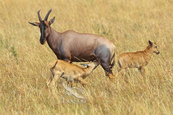 Topi or Tsessebe (Damaliscus lunatus) mother with young, Masai Mara National Reserve, Kenya.