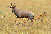 Topi or Tsessebe (Damaliscus lunatus) mother with young, Masai Mara National Reserve, Kenya.