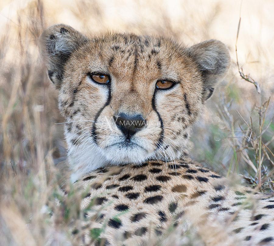 We were fortunate to see thirteen cheetahs on this trip.