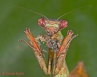 "0408-07nn  Budwing Mantis - Parasphendale agrionina ""Nymph"" © David Kuhn/Dwight Kuhn Photography"