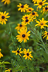 Black-eyed Susans growing in northern Wisconsin.
