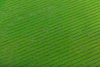 aerial photograph of a green farmfield in the California Central Valley