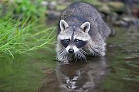 """Waschbär, etwa 4 Monate altes Jungtier sammelt Erfahrungen mit dem Element Wasser, Tierkind, Tierbaby, Tierbabies, Männchen, Rüde, Waschbaer, Wasch-Bär, Procyon lotor, Raccoon, Raton laveur, """"Frodo"""""""