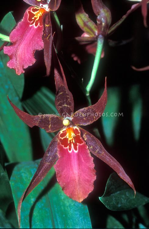 Orchid hybrid Aliceara Sunday Best 'Ontario', HCC/AOS