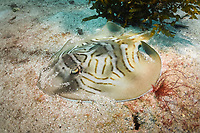 eastern fiddler ray, Trygonorrhina fasciata, Murrays Beach, Jervis Bay, New South Wales, Australia, Pacific Ocean