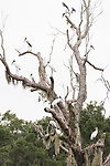 Damon, Texas; a flock of wood storks roosting in a leafless live oak tree in the pasture on an overcast early morning
