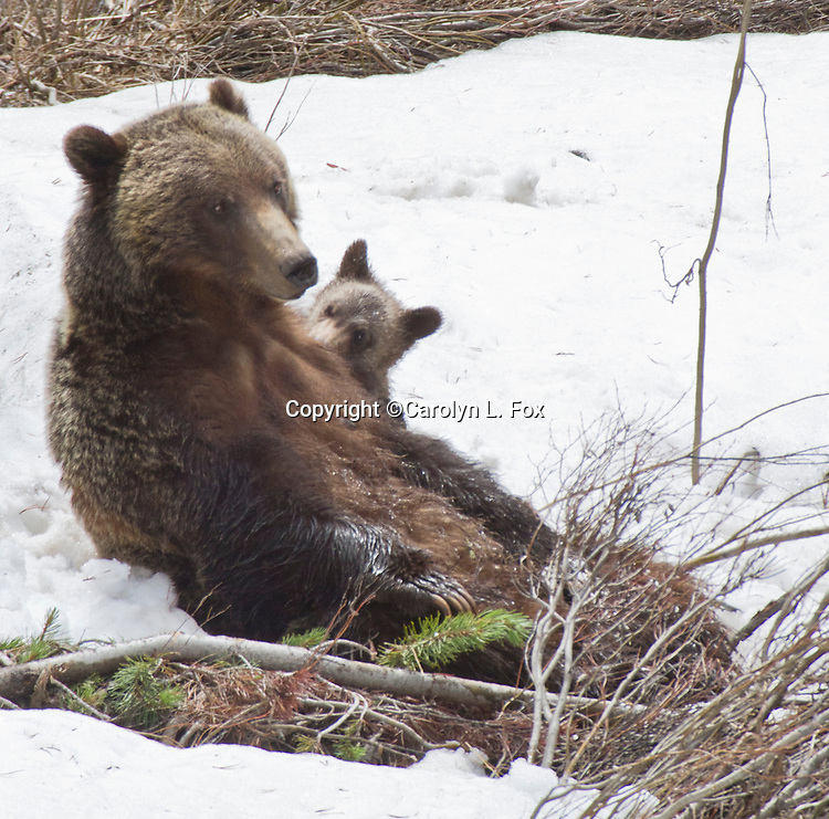 A grizzly bear cub nurses as her mother sits in the snow outside Dubois, Wyoming.