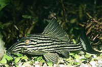 Schwarzlinien-Harnischwels, Panaque nigrolineatus, Chaetostomus nigrolineatus, royal panaque, royal plec, royal pleco, Le Pléco royal, Royal pléco