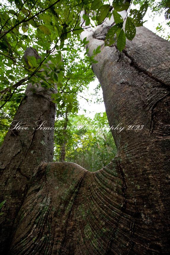 Kapok Tree along the Reef Bay trail<br /> Virgin Islands National Park<br /> St John, U.S. Virgin Islands
