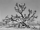0301-635. Joshua Tree in Arizona. April 8, 1951. Standing is Frank Chervenka. (member, House of Representatives, State of Washington in 1943, founder of the Puget Sound Bulb Exchange, and president of the Sumner, Washington, Chamber of Commerce.)