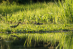 Damon, Texas; a little blue heron and a tricolored heron forage for food on a bed of water hyacinth floating on the surface of the slough in late afternoon sunlight