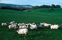 Schafe bei Roncesvalles,  Navarra, Spanien