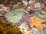 RED RIBBON/2nd place in Seascape/Marine Life category   Starfish, natural under the sea<br /> Mariposa County Fair - Award Winning Images<br /> Fine Art Landscape  <br /> Photo by Joelle Leder Photography Studio ©