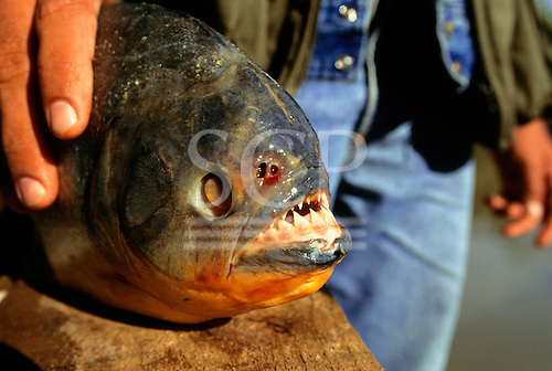 Pantanal, Brazil; large piranha fish with sharp teeth in man's hand.
