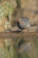 Scaled Quail, Callipepla squamata,adult at pond drinking, Starr County, Rio Grande Valley, Texas, USA