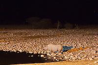 Black Rhino in Etosha, Namibia