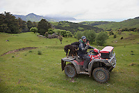 A Musterer (Shepherd) on his Quad-bike, Making the Rounds with his Sheep Dogs, north of Gisborne, north island, New Zealand.