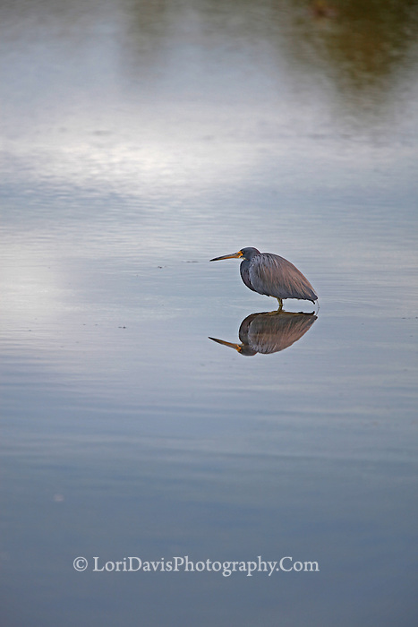 Little Blue Heron With Reflection #H34