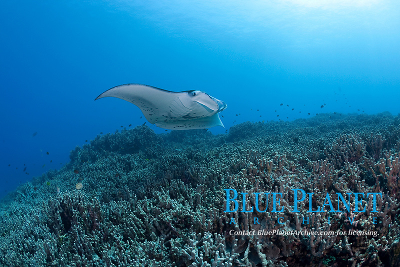 reef manta ray, Mobula alfredi, swims over coral reef dominated by finger coral, Porites compressa, Keauhou Bay, Kona Coast, Hawaii Island ( the Big Island ), Hawaiian Islands ( Central Pacific Ocean )