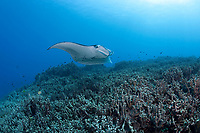 reef manta ray, Manta alfredi, swims over coral reef dominated by finger coral, Porites compressa, Keauhou Bay, Kona Coast, Hawaii Island ( the Big Island ), Hawaiian Islands ( Central Pacific Ocean )