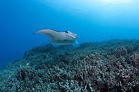 reef manta ray, Mobula alfredi, swims over coral reef dominated by finger coral, Porites compressa, Keauhou Bay, Kona Coast, Hawaii Island ( the Big Island ), Hawaiian Islands ( Central Pacific Ocean )