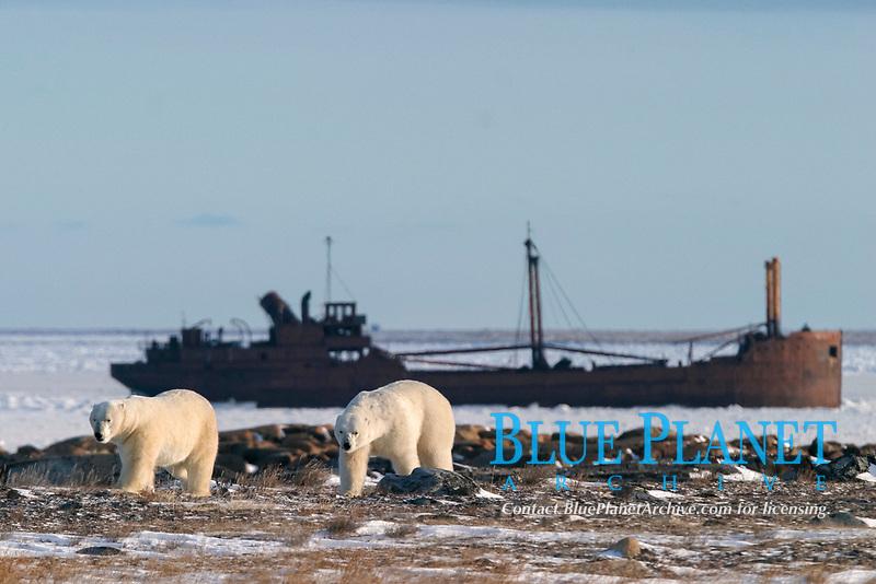 Two adult male Polar Bears, Ursus maritimus, near the wreck of the Ithica near Churchill, northern Manitoba, Hudson Bay, Canada, polar bear, Ursus maritimus