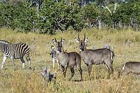 Africa, Botswana, Okavango Delta,Khwai private reserve. Zebra.