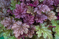 Heuchera 'Ginger Punch'
