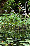Pickerel weed wide shot many plants reflected in pond