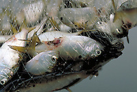 Menhadden with lesions caused by a toxic stage of the dinoflaggelate, pfiesteria piscicada. Pfiesteria-related illness killed fish and made people ill who had frequent contact with water containing the toxins. Maryland US King's Creek, Chesapeake Bay.