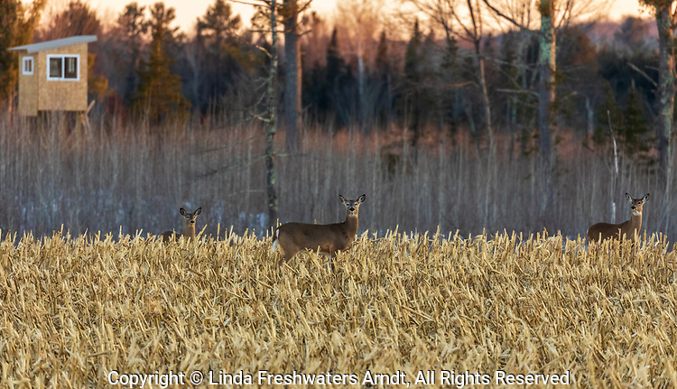 White-tailed deer in a cut field of corn in northern Wisconsin.